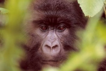 Tour operators pester for more gorilla permits