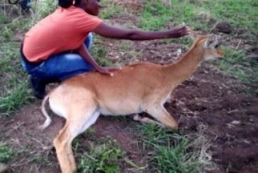 Uganda parks overseer trans-locates national symbols