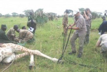 Nearly half of world's giraffes in Uganda