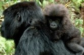 Uganda the winner over Rwanda gorilla fee hike