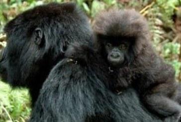Uganda the winner over Rwanda gorilla fee hike