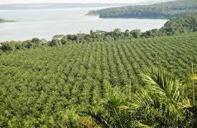 A section of Wilmar's plantation in Bugala, Uganda