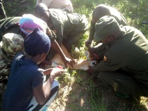 Trapped kob having its blood samples taken before being translocated to Kidepo Valley National Park.
