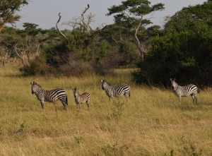 The flagship of Lake Mburo National Park the Zebras are not any safe when it comes to drought there. Photo by Titus Kakembo