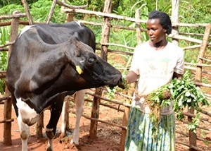Internatkonal NGOs like Heifer International have helped small holder farmers acquire dairy cows to supplement incomes.