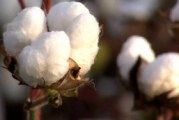 Cotton farmers to share in $600,000 project