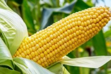 Government steps in with $27m to shore up maize prices